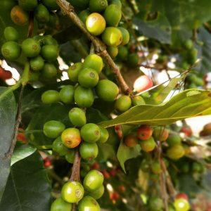 Café del General cherries